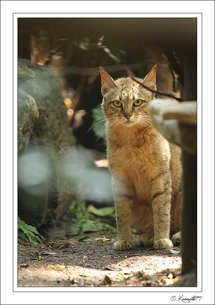 Chat sauvage (2009/07/02)