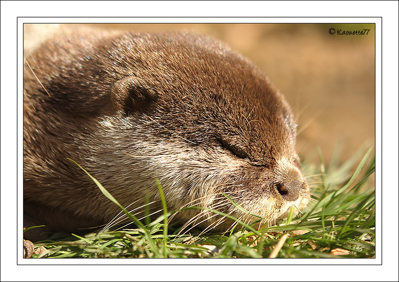 Loutre naine d'Asie (2008/10/11)