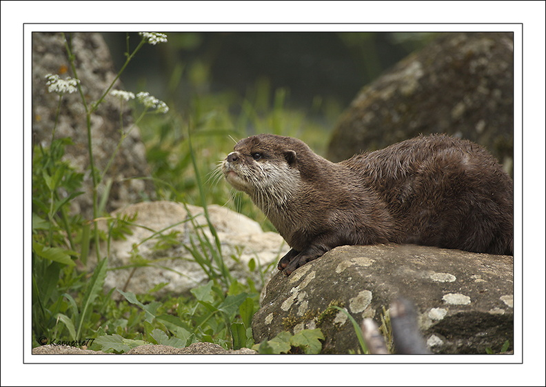 Loutre naine d'Asie (2010/05/13)